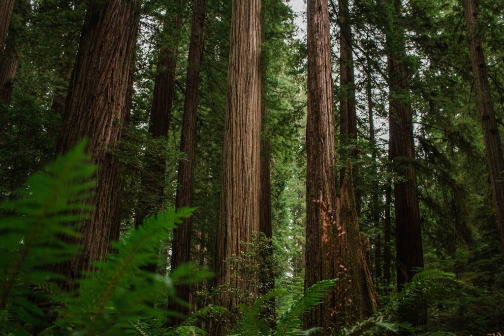 A grove of giant redwoods in Jedediah Smith State Park.